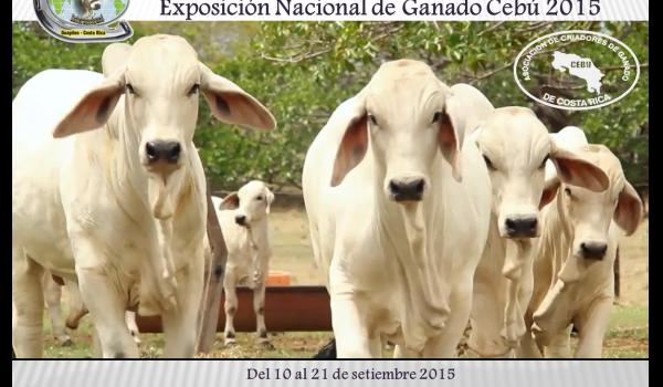 Invitación Nacional Cebú - Expo Pococí 2015